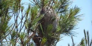 cocon nid de chenilles processionnaires à Grenoble